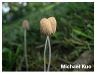 Parasola plicatilis