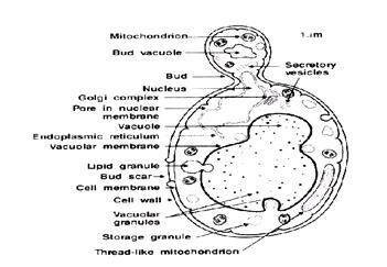 Saccharomyces