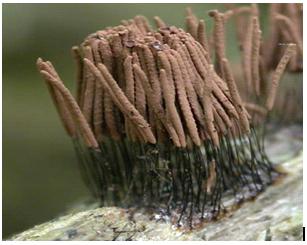 Stermonitis axifera
